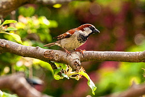 House Sparrow (Passer domesticus) male, perched on apple tree, Bristol, UK, May .  -  John Waters