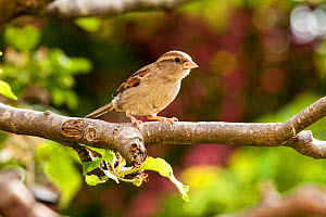 House Sparrow (Passer domesticus) female perched in apple tree, Bristol, UK, May.  -  John Waters