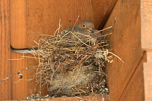 Mourning dove (Zenaida macroura) incubating on nest in corner of a building. The dove nest has been built on top of two old nests (possibly of American Robin and/or House Finch) from previous years, I...  -  Marie Read