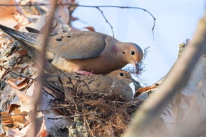 Mourning dove (Zenaida macroura) pair at nest, male has brought nest material (rootlets) and is leaning over incubating female to add it to the nest. Ithaca, New York, USA, April.  -  Marie Read
