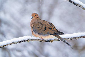 Mourning dove (Zenaida macroura) perched on snow-covered branch in winter, Ithaca, New York, USA, February.  -  Marie Read