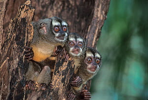 Panamanian night monkeys (Aotus zonalis) family in their daytime roost in a hollow tree, Soberania National Park, Panama.  -  Marie Read