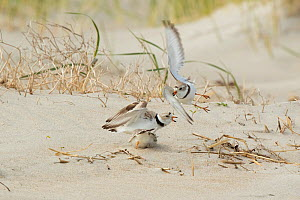 Piping Plovers (Charadrius melodus), three during aggressive territorial interaction near nest site on beach in spring, northern Massachusetts coast, USA. April.  -  Marie Read
