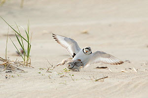 Piping plovers (Charadrius melodus), male and female copulating near nest site on beach, northern Massachusetts coast, USA. April.  -  Marie Read