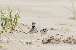Piping plovers (Charadrius melodus), male approaching female while performing goose-stepping display before copulation, near nest site on beach, northern Massachusetts coast, USA, April.  -  Marie Read