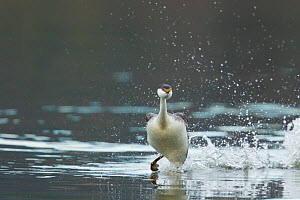 Western Grebe (Aechmorphus occidentalis), running across water's surface at beginning of 'rushing' courtship display, near Escondido, California, USA  -  Marie Read