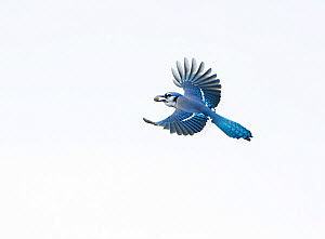 Blue jay (Cyanocitta cristata) in flight carrying an acorn that it will cache for winter food supply, New York, USA, October.  -  Marie Read