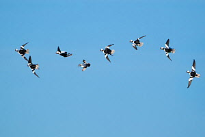 Buffleheads (Bucephala albeola), courtship flight in which several males chase a female (fourth from left) at high speed through the air, early spring, Aurora, New York, USA. Digitally manipulated rig...  -  Marie Read