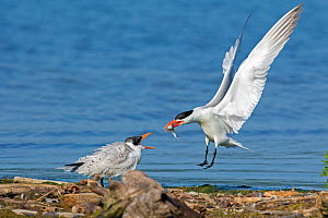 Caspian terns (Sterna caspia), adult arrives with fish to feed begging juvenile, late summer, Cayuga Lake, Ithaca, New York, USA, August.  -  Marie Read