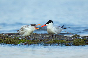 Caspian terns (Sterna caspia), juvenile (left) begging from adult in late summer, Cayuga Lake, Ithaca, New York, USA, August.  -  Marie Read