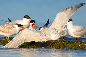Caspian terns (Sterna caspia), aggressive interaction between adult (facing viewer) and juvenile, Cayuga Lake, Ithaca, New York, USA, August.  -  Marie Read