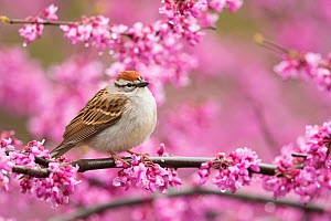 Chipping sparrow (Spizella passerina), adult perched in flowering eastern redbud in spring, New York, USA, May.  -  Marie Read