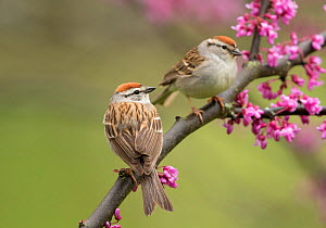 Chipping sparrows (Spizella passerina), pair perched in flowering eastern redbud in spring, New York, USA, May.  -  Marie Read