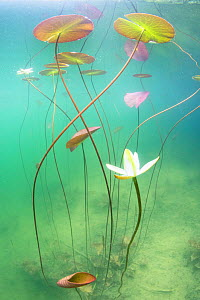 Waterlily (Nymphaea alba) flower underwater in a lake. Ain, Alps, France  -  Remi Masson