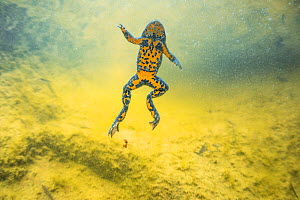 Yellow-bellied toad (Bombina variegata) underwater in Thurignin Canyon, Seran river. Alps, France, August.  -  Remi Masson