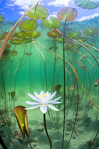 Water lily (Nymphaea alba) flower underwater in lake, Ain, Alps, France, June.  -  Remi Masson