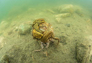 Common toads (Bufo bufo) in mating ball, Ain, Alps, France, April.  -  Remi Masson