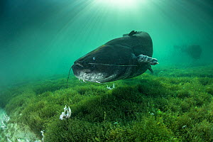 Giant wels catfish (Silurus glanis), longer than two meters, swimming above the bottom of the lake of Neuchatel, Switzerland.  -  Remi Masson