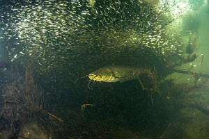 European catfish (Silurus glanis) in the middle of a school of Fish (common bleak). River Loire, Indre-et-Loire, France. October.  -  Remi Masson