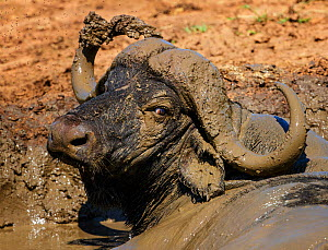 African buffalo (Syncerus caffer) male, wallowing in mud, Kruger National Park, South Africa.  -  Tony Heald