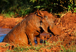 Warthog (Phacochoeros aethiopicus) covered in mud after wallowing, Kruger National Park South Africa.  -  Tony Heald