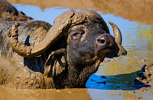 African Buffalo (Syncerus caffer) male, wallowing in mud. Kruger National Park, South Africa, February.  -  Tony Heald