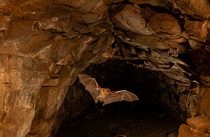 Schneider's leaf-nosed bat (Hipposideros speoris), flying out of its roosting cave at dusk. Karanataka, India  -  Yashpal Rathore