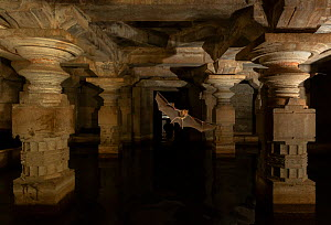 Schneider's leaf-nosed bats (Hipposideros sperosis) in half submerged old temple ruins. Hampi World UNESCO Heritage Site, Karnataka, India  -  Yashpal Rathore