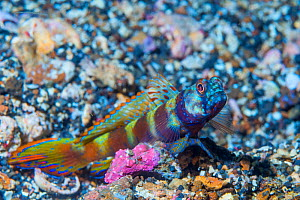 Wide-barred shrimp goby fish (Amblyeleotris latifasciata). Lembeh Strait, North Sulawesi, Indonesia.  -  Georgette Douwma