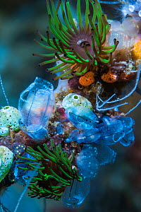 Colonial anemones (Amphianthus nitidus) and Sea squirts. Lembeh Srrait, North Sulawesi, Indonesia.  -  Georgette Douwma