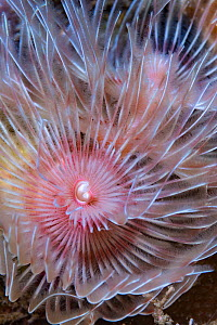 Magnificent tube worm (Protula bispiralis). Lembeh Strait, North Sulawesi, Indonesia.  -  Georgette Douwma