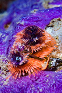 Christmas tree worm (Spirobranchus sp) next to a purple sponge. Lembeh Strait, North Sulawesi, Indonesia.  -  Georgette Douwma