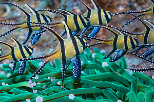 RF - Banggai cardinalfish (Pterapogon kauderni). Lembeh Strait, North Sulawesi, Indonesia. (This image may be licensed either as rights managed or royalty free.)  -  Georgette Douwma
