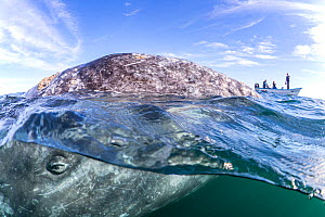Grey whale (Eschrichtius robustus) surfacing next to whale-watching boat with tourists. Magdalena Bay, Baja California, Mexico.  -  Franco Banfi