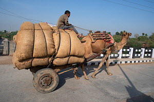 Cart pulled by Domestic camel, crossing bridge Ranthambore, India. March 2020.  -  Patricio Robles Gil