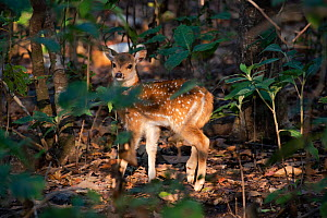 Chital deer (Axis axis) Jim Corbett National Park, India.  -  Patricio Robles Gil