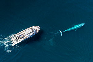 Blue whale (Balaenoptera musculus) followed by whale watching boat, aerial view. Baja California, Mexico. February 2020.  -  Mark Carwardine