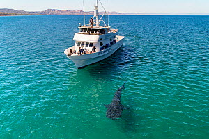 Whale shark (Rhincodon typus) with tourists observing from whale watching boat, in coastal waters. Sea of Cortez, Baja California, Mexico. February 2020.  -  Mark Carwardine