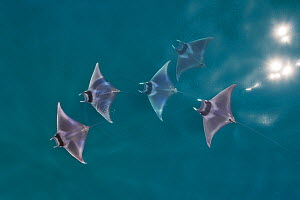 Spinetail devil ray (Mobula mobular), five with reflections of sun on water, aerial view. Sea of Cortez, Baja California, Mexico. March.  -  Mark Carwardine