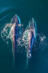 Fin whale (Balaenoptera physalus), two feeding, aerial view. Baja California, Mexico. March.  -  Mark Carwardine
