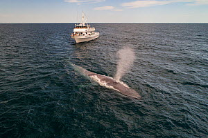 Blue whale (Balaenoptera musculus) spouting, whale watching boat in background. Baja California, Mexico. April 2019.  -  Mark Carwardine