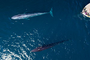 Blue whale (Balaenoptera musculus) and Fin whale (Balaenoptera physalus) travelling together, tourists in whale watching boat, aerial view. Baja California, Mexico. March 2019.  -  Mark Carwardine