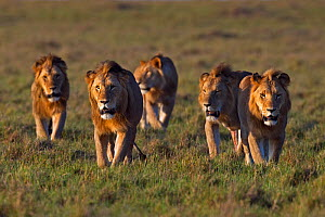 Lion (Panthera leo) males walking together . Masai Mara National Reserve, Kenya.  -  Anup Shah