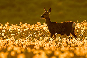 RF - Roe deer (Capreolus capreolus) feeding on dandelion seed heads at sunset, UK. May. UK. (This image may be licensed either as rights managed or royalty free.)  -  Andy Rouse