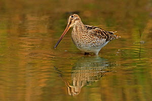RF - Common Snipe (Gallinago gallinago) feeding Ranthambhore, India (This image may be licensed either as rights managed or royalty free.)  -  Andy Rouse