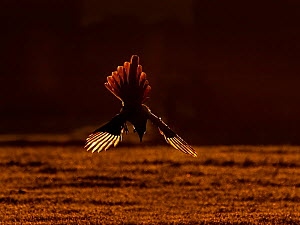 Magpie (Pica pica) diving down at sunrise , UK. December.  -  Andy Rouse