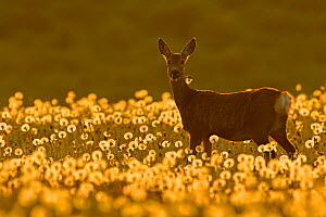 Roe deer (Capreolus capreolus) amongst dandelion seed heads at sunset, UK. May.  -  Andy Rouse
