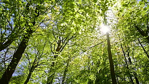 Tracking shot through Beech (Fagus sylvatica) forest, with the sun shining through the foliage, dolly shot, Belgium, April.  -  Philippe Clement