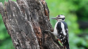 Male Great spotted woodpecker (Dendrocopos major) wedging nut into a tree stump crevice before hammering it, Belgium, June.  -  Philippe Clement