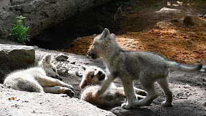 Three Hudson Bay wolf pups (Canis lupus hudsonicus) playing near den, Bavarian Wildlife Forest Park, Germany, June. Captive, native to Canada.  -  Philippe Clement